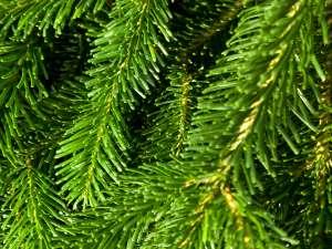 Fragrance:  Green Pine