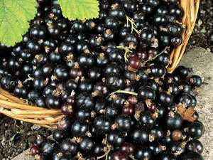 Fragrance:  Black Currant & Ivy
