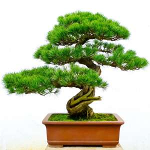 Galena/Bonsai Tree Fragrance Oil