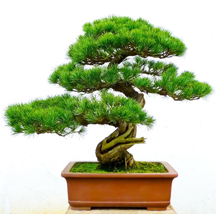 Galena/Bonsai Tree Fragrance Oil