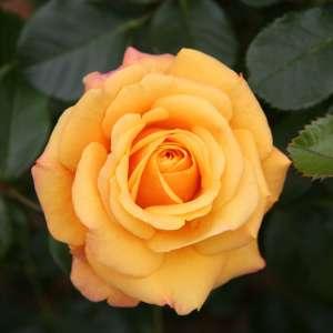 Fragrance:  Fresh Fern & Amber Rose