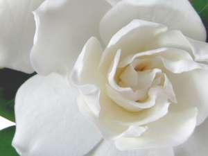 Fragrance:  Gardenia