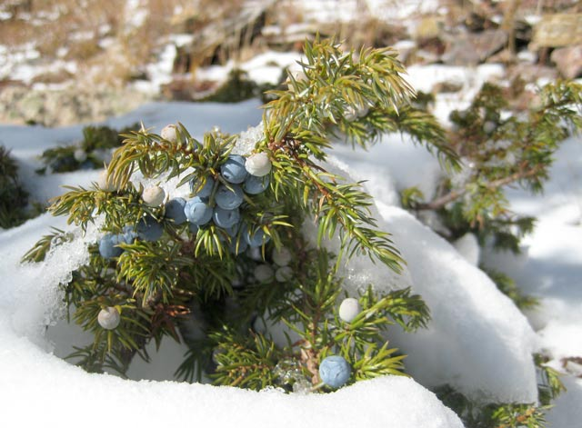Fragrance:  Juniper Jack Frost