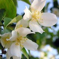 Fragrance:  Southern Jasmine