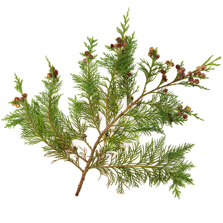 White Cedar with Spice  Fragrance Oil